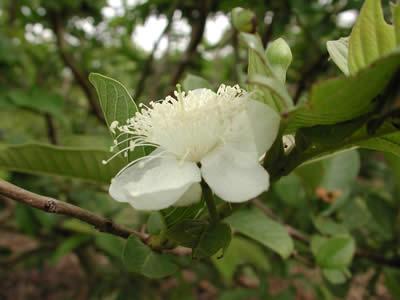 Guava Çiçeği